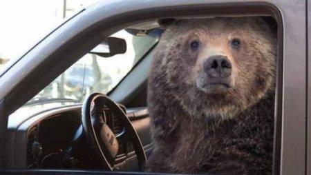 Qorxmuş ayı maşında sıxışıb qaldı və təlaşla siqnal verdi